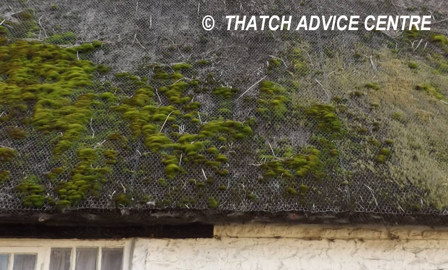 Moss And Lichen On Thatch Thatch Advice Centre
