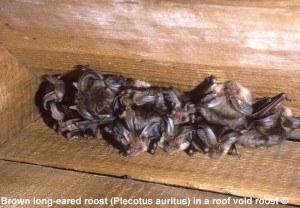 Brown long-eared bats