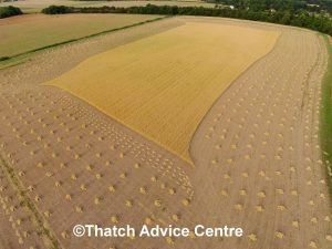 thatching straw harvest 1 C