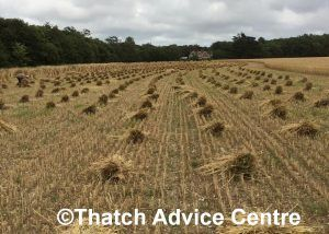 thatching straw harvest 3 - c