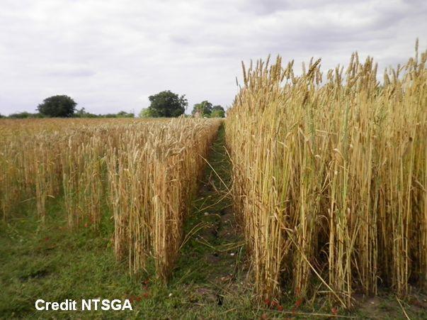 Thatching Straw Varieties (NTSGA) 1