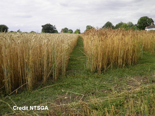 Thatching Straw Varieties (NTSGA) 2