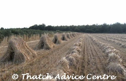 Thatching straw availability 2017 - 2018