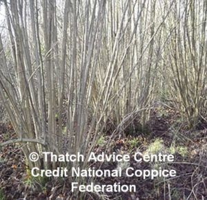 Coppicing Wood