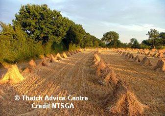 NTSGA - National Thatching Straw Growers Association field of stooks