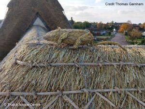 Thatch Finial rat Credit Thomas Garnhamn