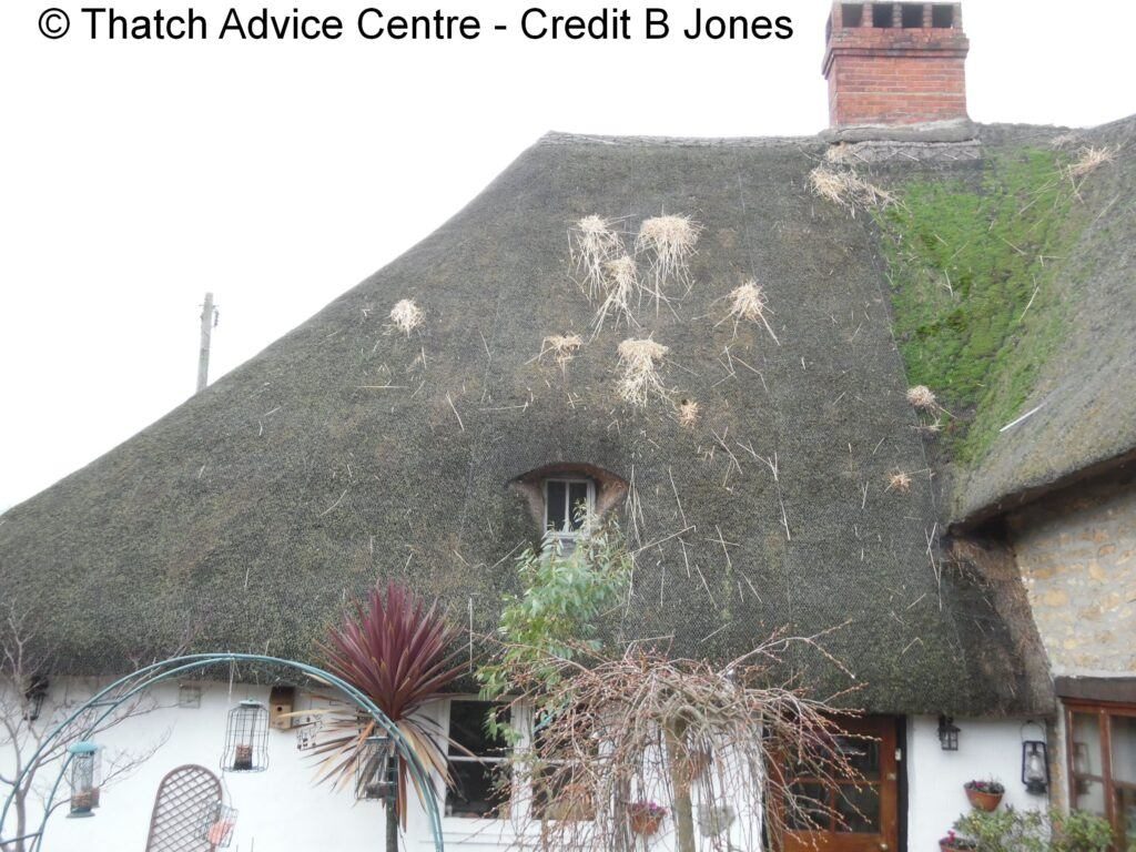 Rats in a thatched Roof - Thatch Advice Centre - dealing with pests